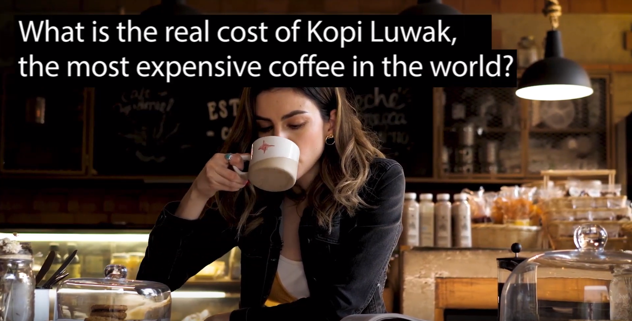 kopi luwak cost What is the real cost of Kopi Luwak coffee? VIDEO The most expensive coffee in the world