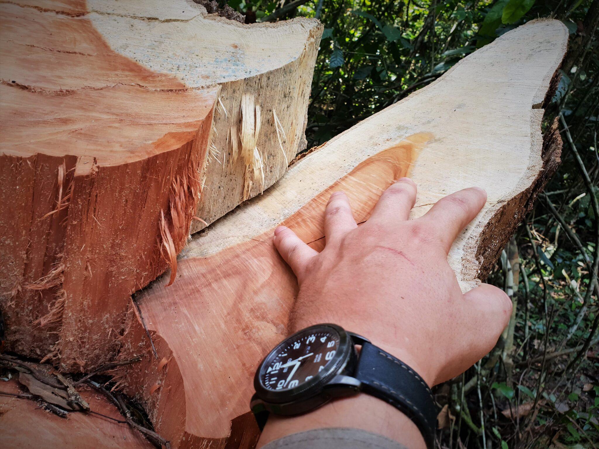 saving the rainforest Saving the rainforest illegal logging Cambodia