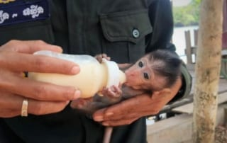 baby macaque Baby macaque rescued by Wildlife Alliance rangers Baby macaque rescued by Wildlife Alliance rangers 320x202 newsletter Newsletter Baby macaque rescued by Wildlife Alliance rangers 320x202