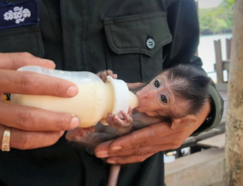 Baby macaque rescued by Wildlife Alliance rangers