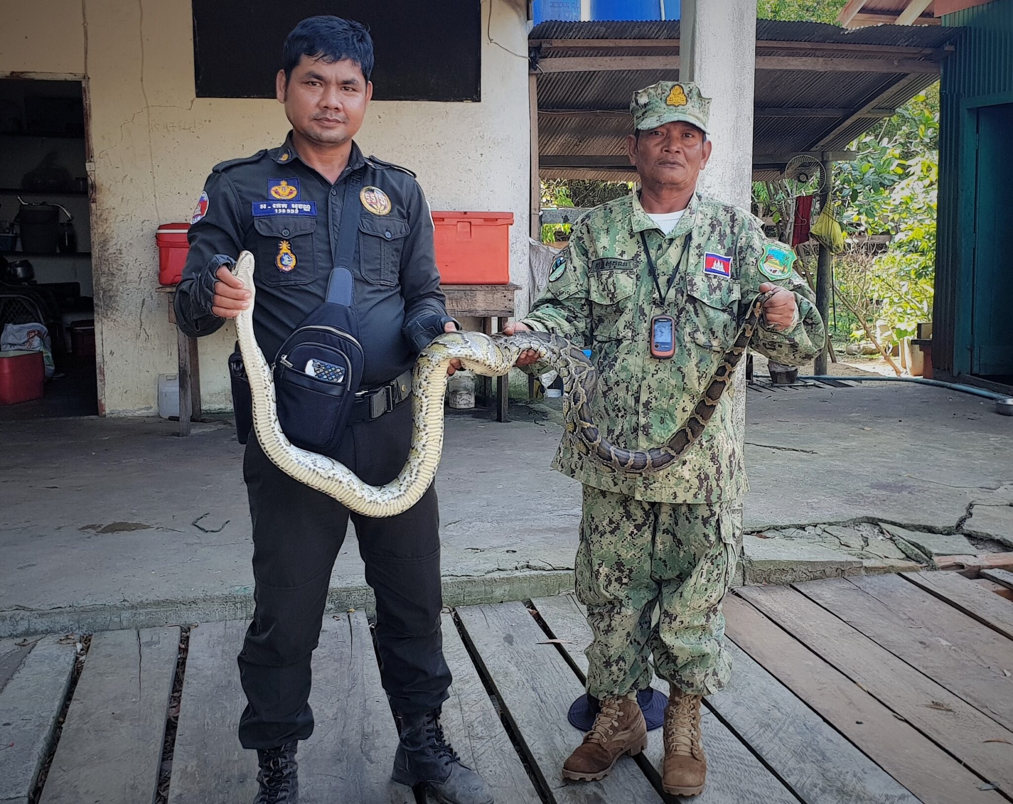 Reticulated python, world's longest snake Reticulated python Cambodia