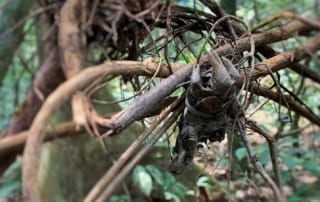 Snares are lethal weapons that trap and kill animals Snares are lethal weapons trap and kill animals 320x202 tamao wildlife rescue center Phnom Tamao Wildlife Rescue Center Snares are lethal weapons trap and kill animals 320x202