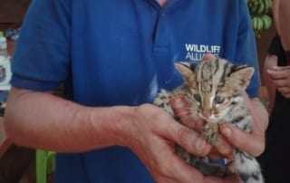 kitten This rescued kitten Isn't just any cat – It's a Wild Leopard Cat cute Wild Leopard baby Cat 320x202