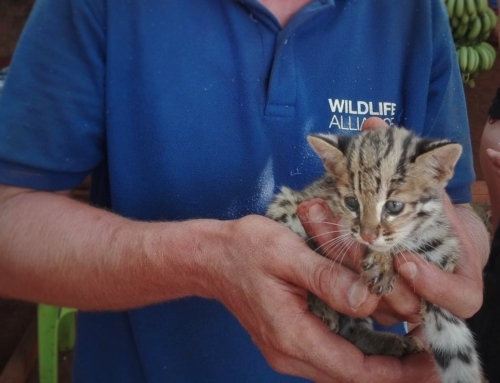 This rescued kitten Isn't just any cat – It's a Wild Leopard Cat