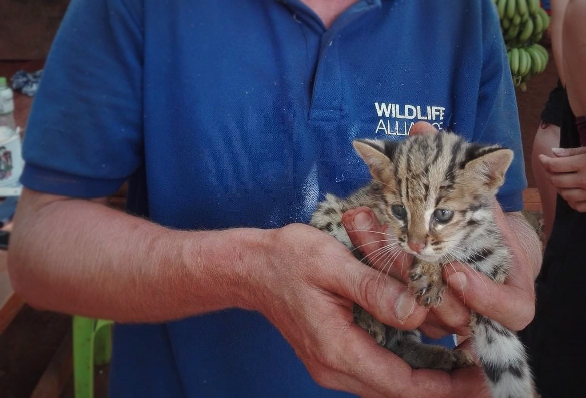 kitten This rescued kitten Isn't just any cat – It's a Wild Leopard Cat cute Wild Leopard baby Cat
