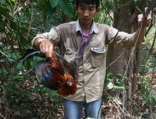 Call for ban of snares – Dhole caught in snares graphic content