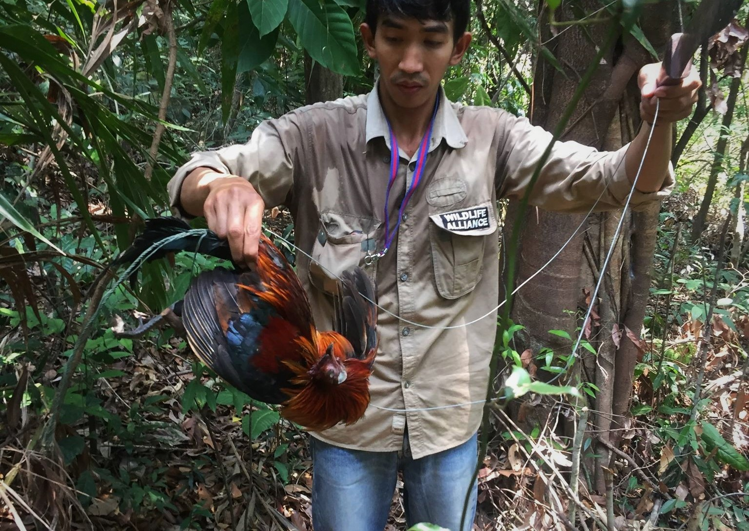 ban snares Call for ban of snares – Dhole caught in snares graphic content lethal weapons that trap and kill animals