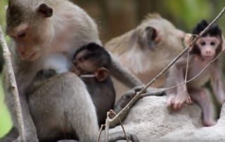 statement re: macaque rescues Statement re: macaque rescues macaque rescues youtube 320x202 tamao wildlife rescue center Phnom Tamao Wildlife Rescue Center macaque rescues youtube 320x202