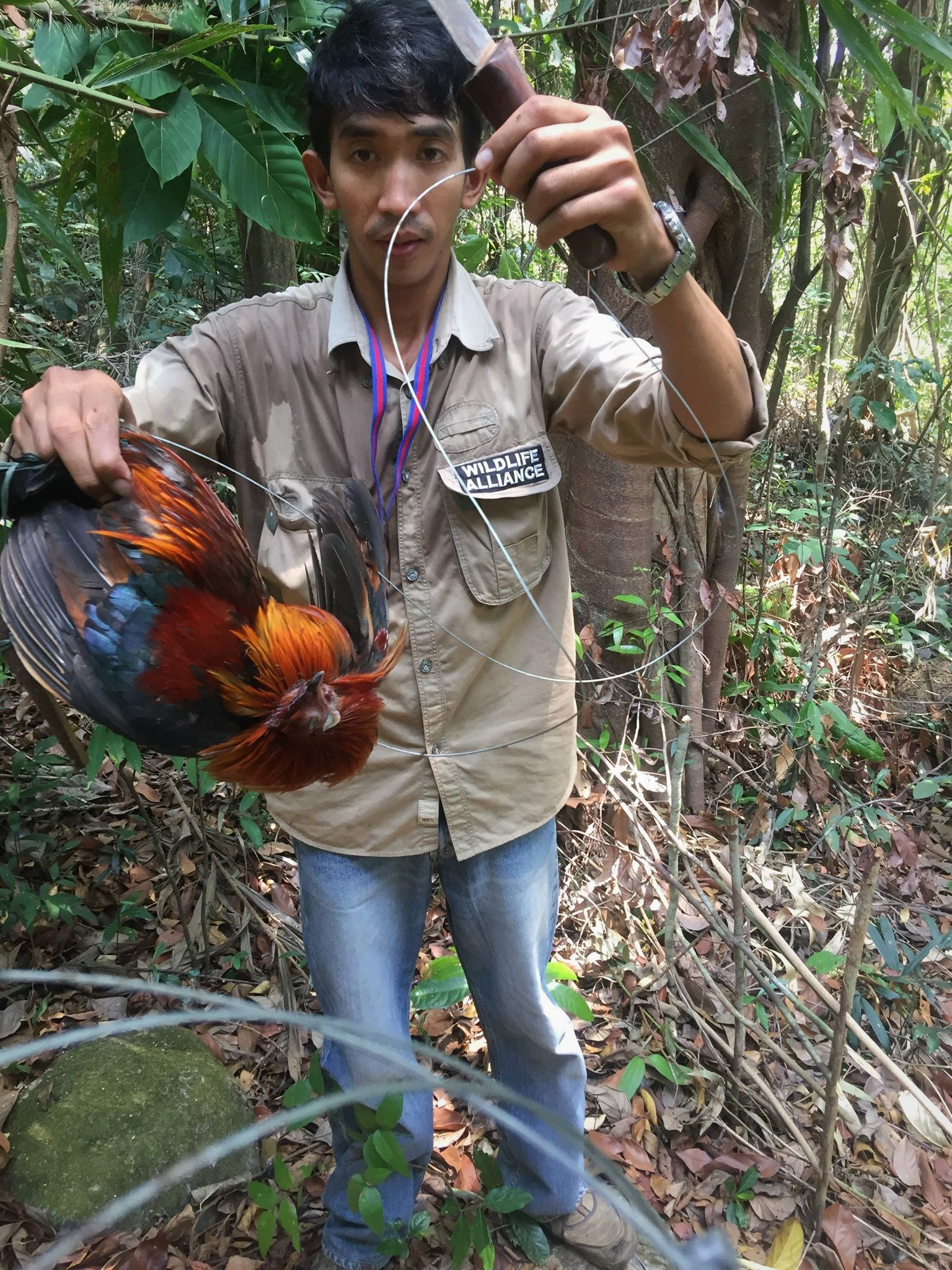 ban snares Call for ban of snares – Dhole caught in snares graphic content wild chicken trapped in snares Wildlife Alliance