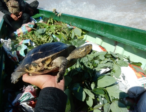 50 Critically Endangered turtles rescued from wildlife traffickers