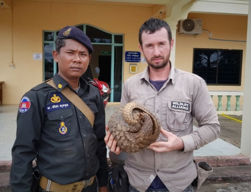 Our rangers rescued a Critically Endangered pangolin from a poacher