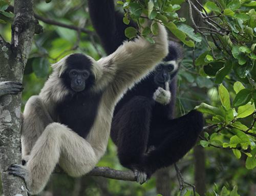International Gibbon Day 2019