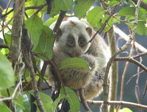 Slow lorises enjoy an upgrade at rescue center