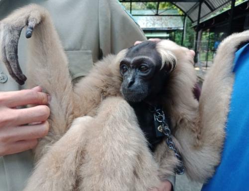 Endangered gibbon rescued thanks to Facebook community