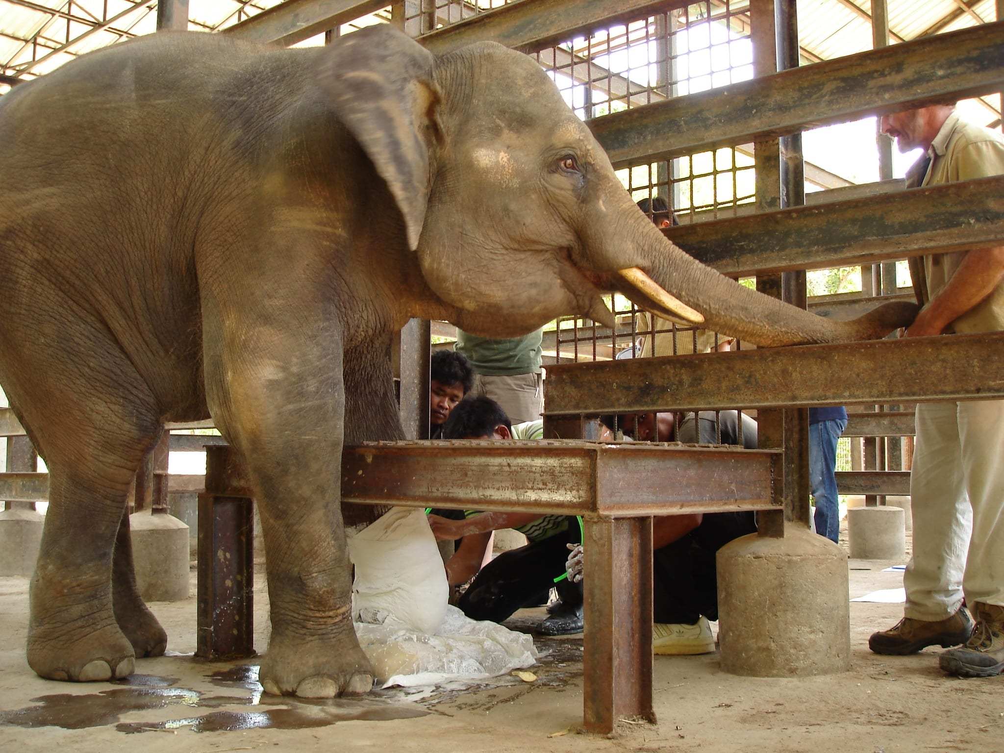Chhouk the Asian elephant gets a cast for his prosthetic