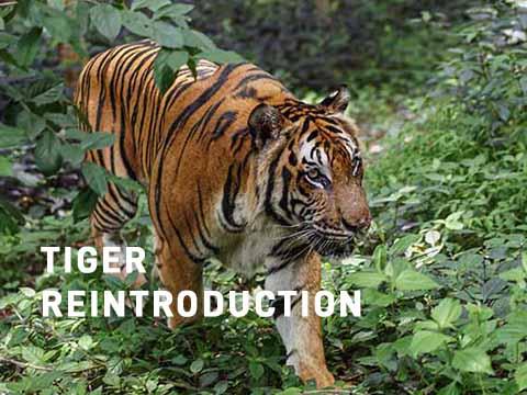 Tiger cambodia picture